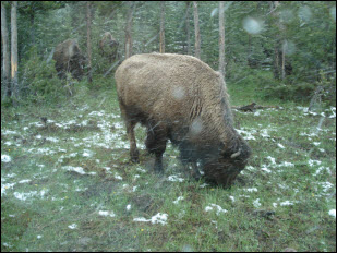 Picture of bison in the snow.