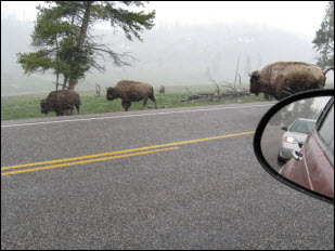 Picture of bison at Yellowstone.