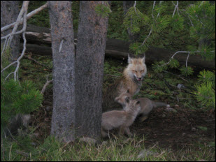 Picture of Red Fox Family.