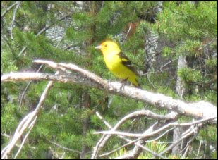 Picture of a western tanager.